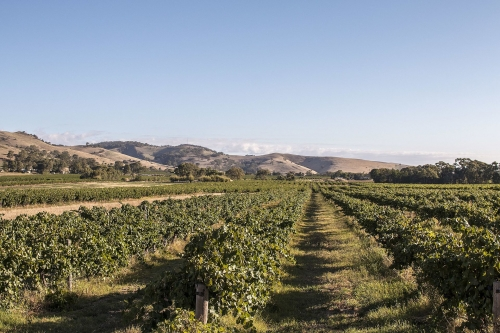 A vineyard in the Barossa Valley