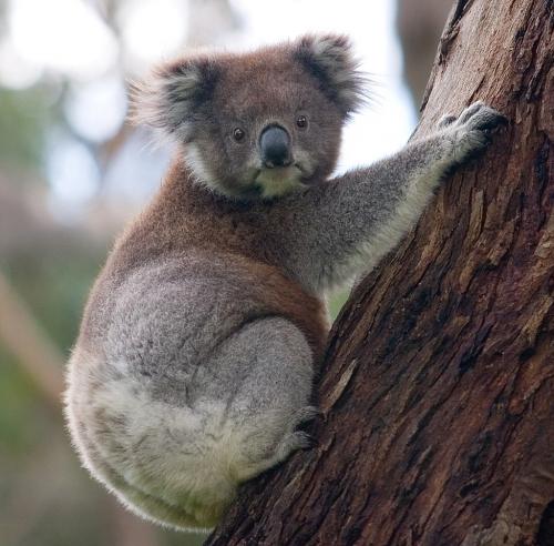 Koala D